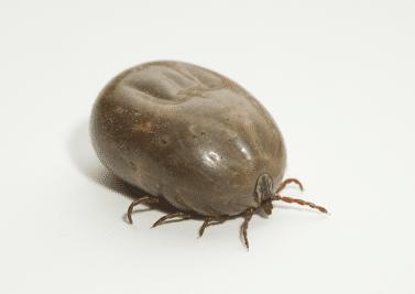 Maladie de Lyme, une inconnue