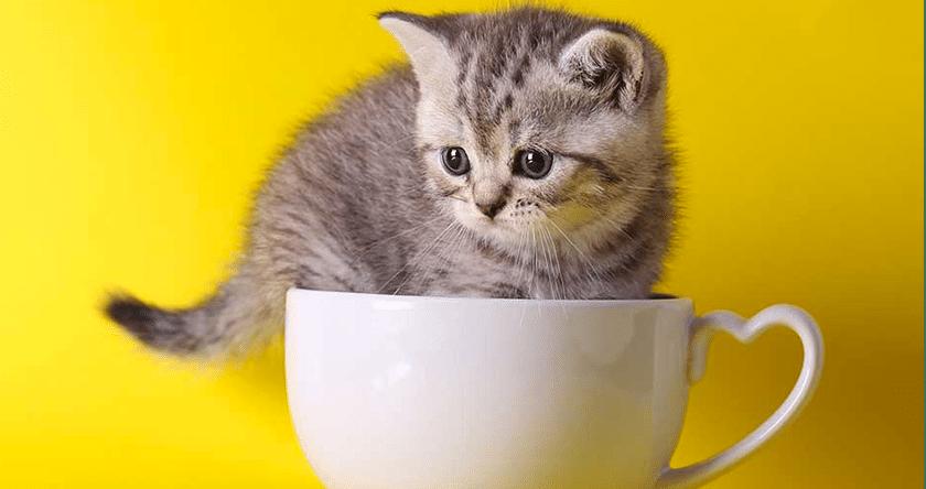 La consommation de chatons (en vidéo) est-elle sans danger pour notre santé ?