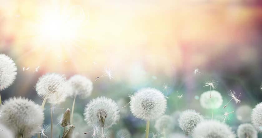 30. C'est le pourcentage d'adultes allergiques aux pollens