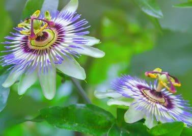 La passiflore, un remède naturel contre l'anxiété
