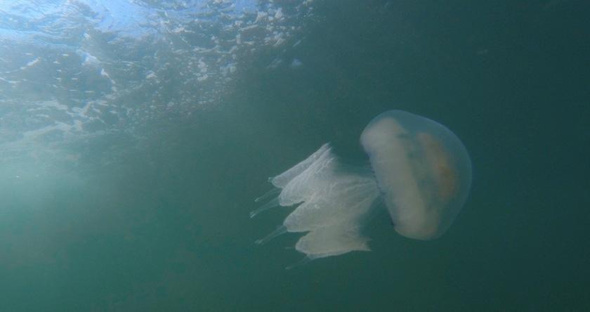 L'année des méduses ?