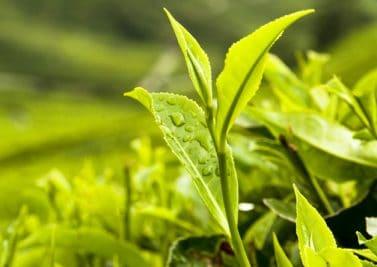 Les plantes minceur